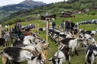 Альпийские и ангорские козы