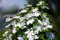 Как цветет клематис