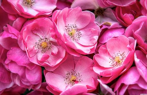 Дикая розовая роза
