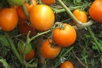 Лучшие томаты для дачи и огорода