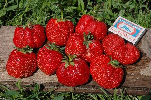 Размер ягод клубники Гигантелла
