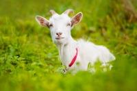 Наши родные козы