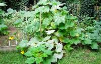 Как растут кабачки?