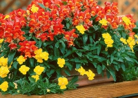 Львиный зев - цветок для бордюра