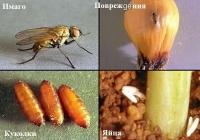 Луковая муха - повреждения, лучинки, яйца
