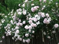 Плетистая роза New Dawn