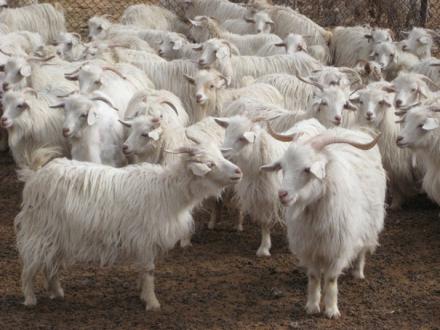 Оребургская коза