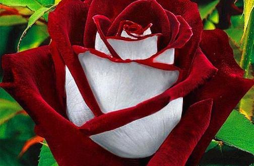 Роза Осирия - один из лучших примеров селекции