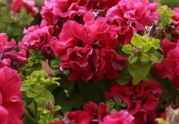 Крупноцветковая петуния, розовая
