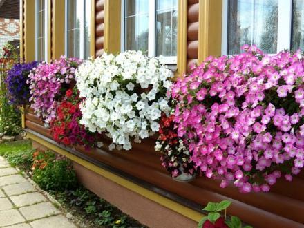 Ампельная петуния украшение любого балкона