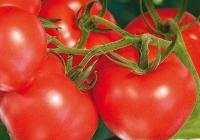 Созревшие плоды помидора Ивановец