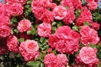 Вот такие бутоны у нашей розы