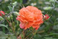 Оранжевый с оттенками желтого - вот такой цветок у розы Вестерлэнд