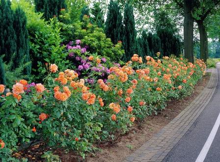 Яркая и ароматная роза Westerland