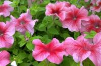 Розовый цветок петунии