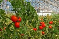 Сорт томата для теплицы