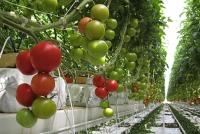 Сорт Момент подходит для выращивания в теплице