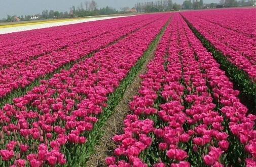 Так выращивают тюльпаны в Голландии