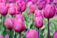 Тюльпан барселона