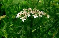 Цветы кориандра