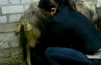 Лечим мастит у козы